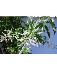 ΛΟΥΙΖΑ LIPPIA CITRIODORA