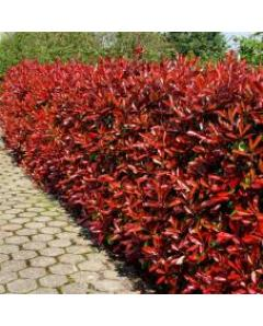 ΦΩΤΙΝΙΑ PHOTINIA RED ROBIN