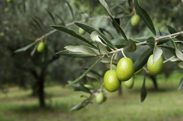 OLIVE OIL TREES  {expo}