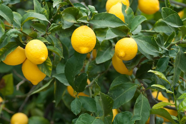 CITRUS TREES  {expo}